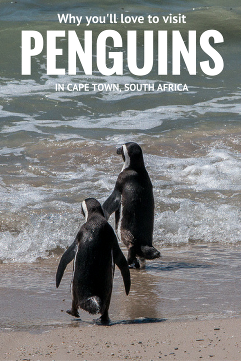 Why you'll love to visit penguins in Cape Town, South Africa. #Cape Town #penguins #Boulders #birding #marine #Simonstown