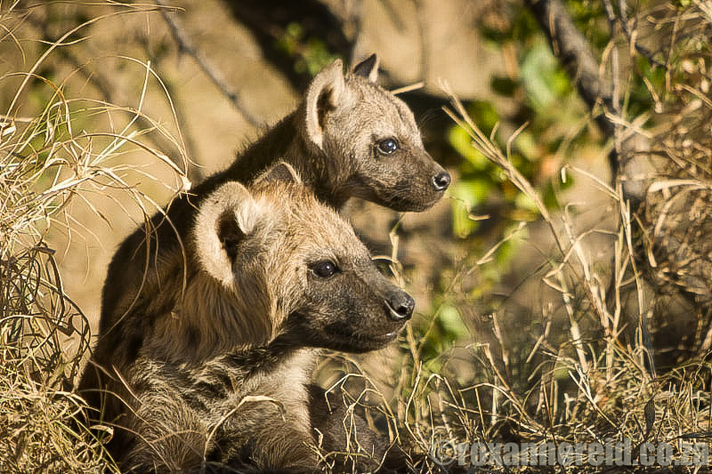 Spotted hyena with cub, Kruger National Park, South Africa