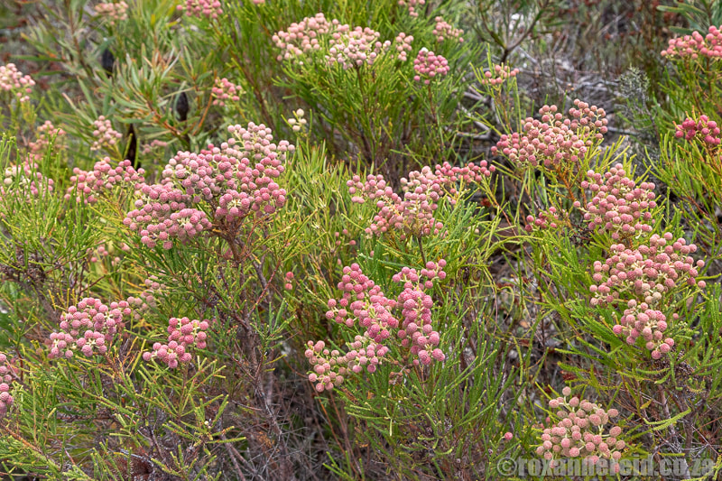 Fynbos in the mountain reserve at Stanford