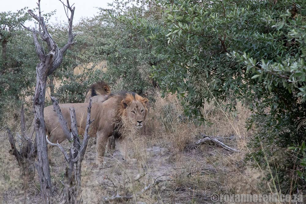 Lions on a game drive from Namushasha River Lodge