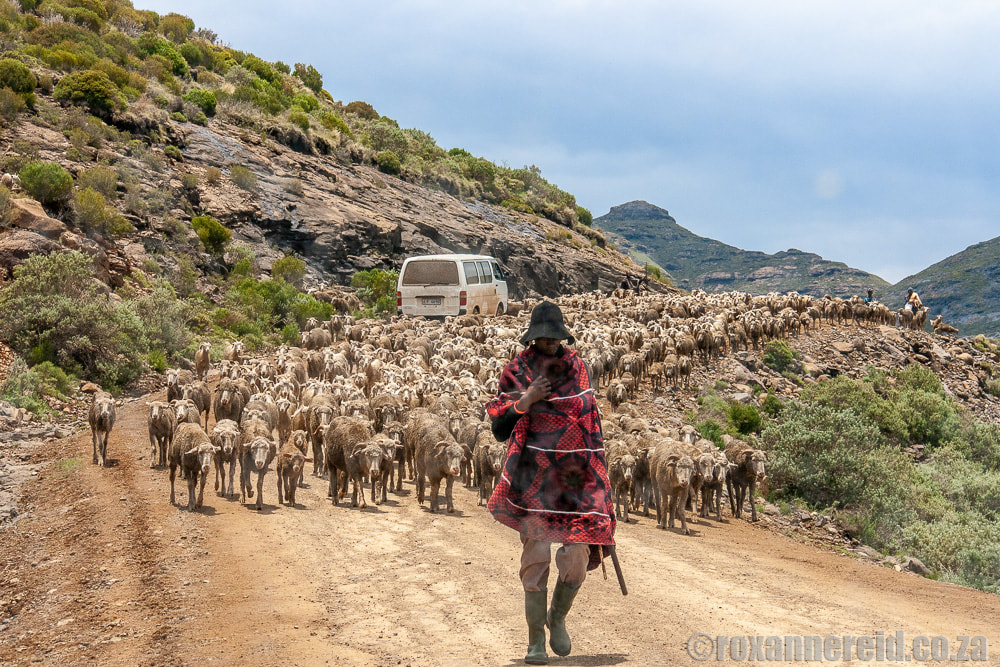 Sheep traffic on the road to Semonkong
