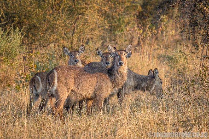 Waterbuck, Zambezi National Park, Zimbabwe