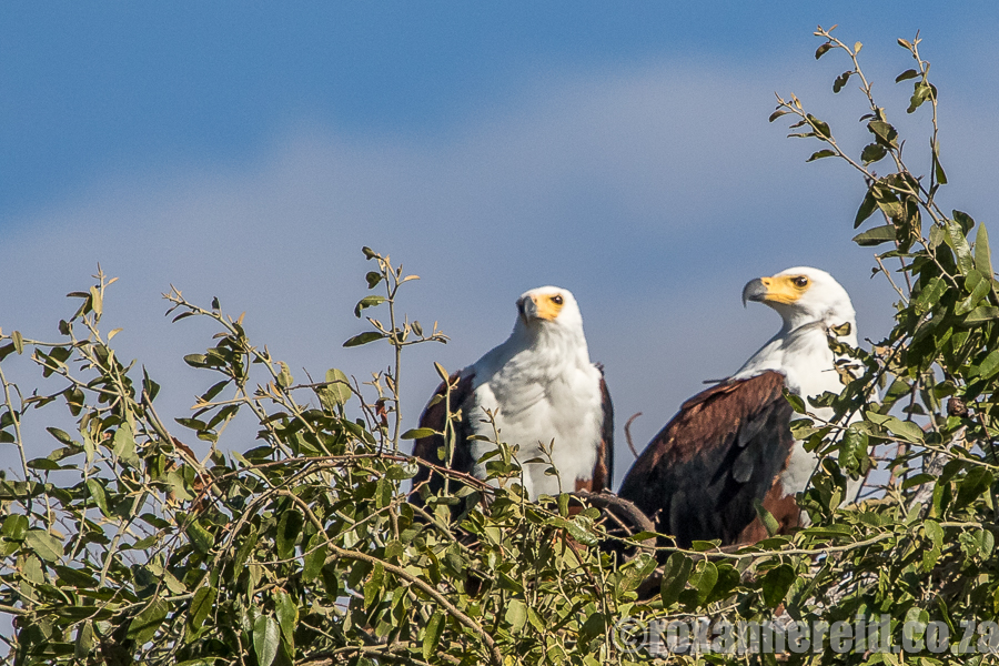 Fish-eagles, Chobe, Botswana