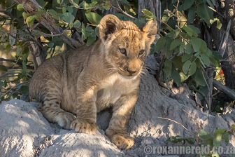 Lion cub, Selinda Camp, Great Plains Conservation, Botswana
