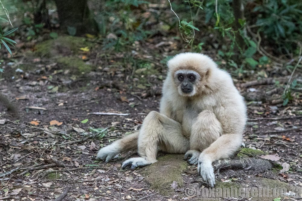 White-handed gibbon, Monkeyland, Garden Route