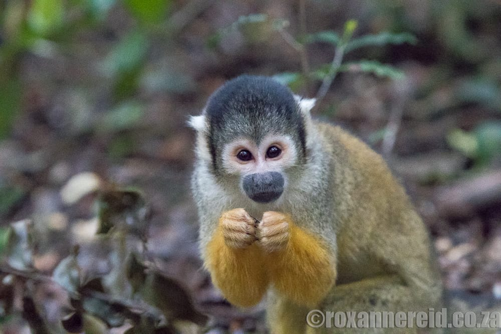 Squirrel monkey, Monkeyland, Garden Route