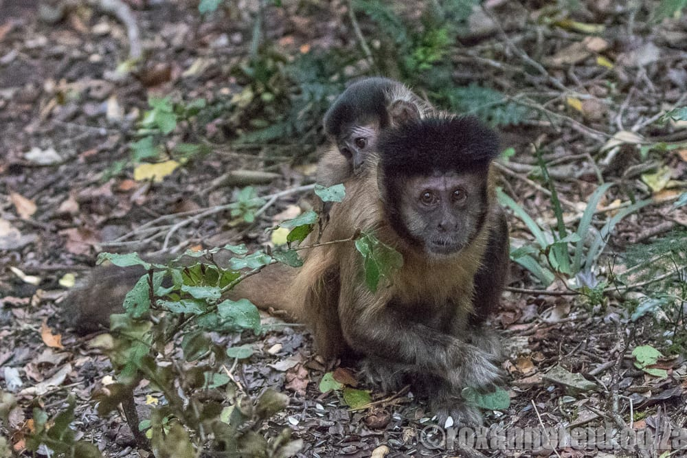 Hooded capuchin, Monkeyland, Garden Route