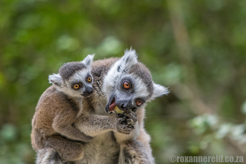 Ring-tailed lemurs at Monkeyland, Garden Route - things to do from Fancourt
