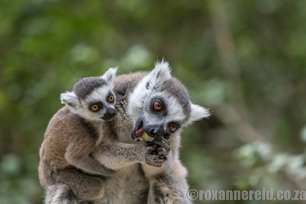 Ring-tail lemurs, Monkeyland, Garden Route