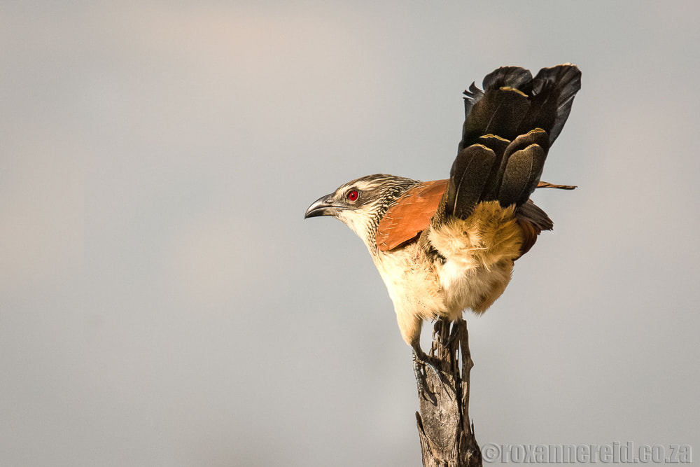 Birds of Botswana: white-browed coucal