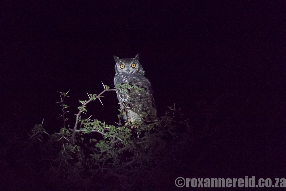 Spotted eagle-owl, Mokala National Park