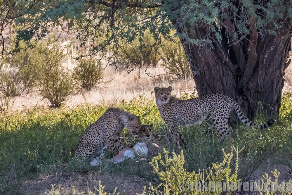 Cheetahs on a kill, Kgalagadi Transfrontier Park