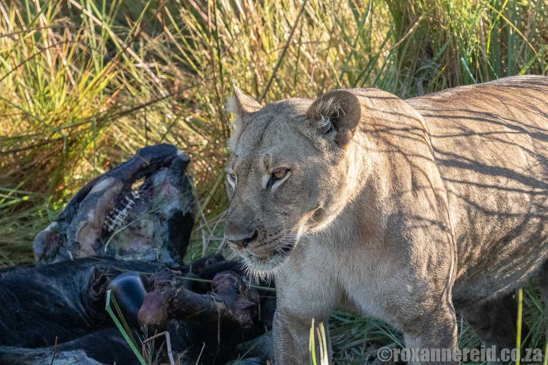 Lioness with buffalo kill, Selinda Reserve, Linyanti