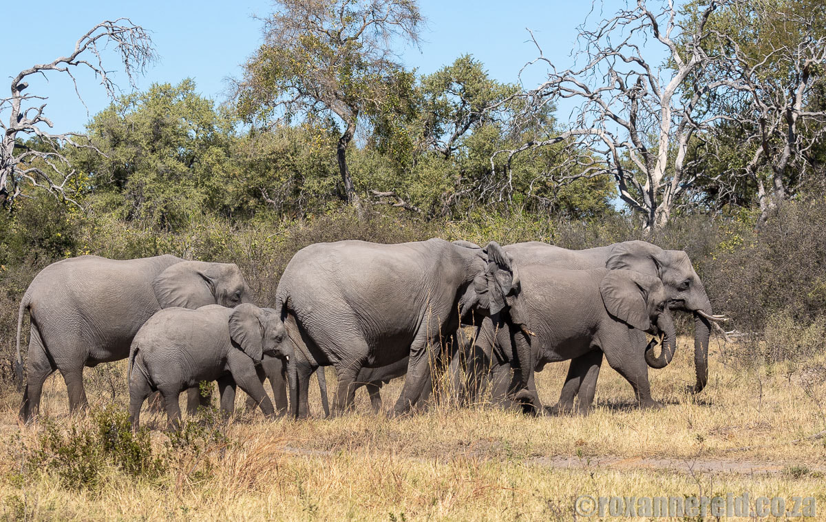 Elephants at Selinda, Botswana