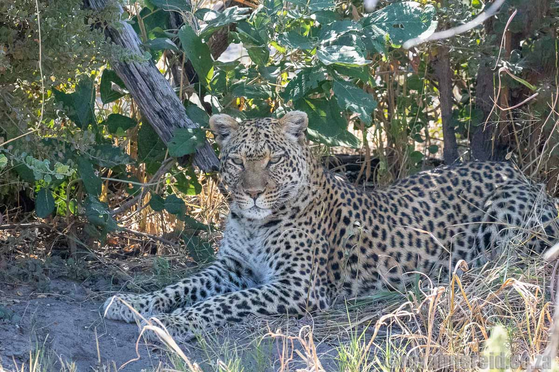 Leopard on a Botswana safari, Selinda