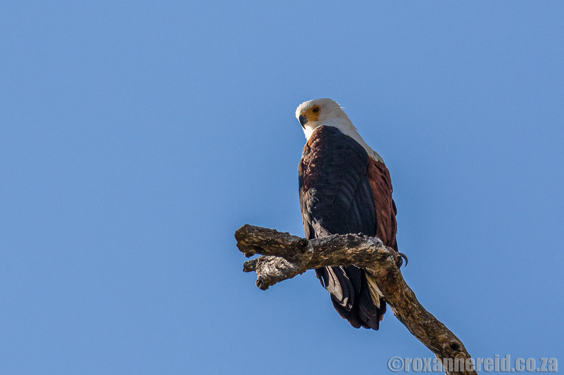 Fish eagle at the Selinda Spillway, Botswana