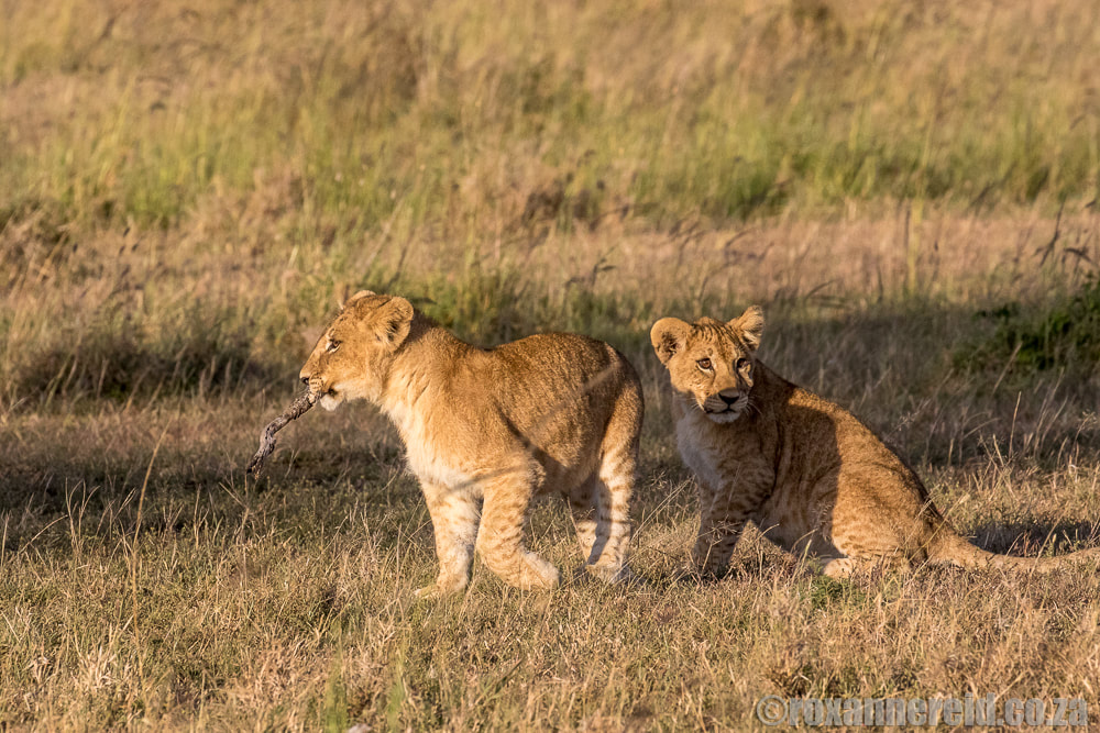 Lion cubs, Mara Expedition Camp, Maasai Mara, Kenya