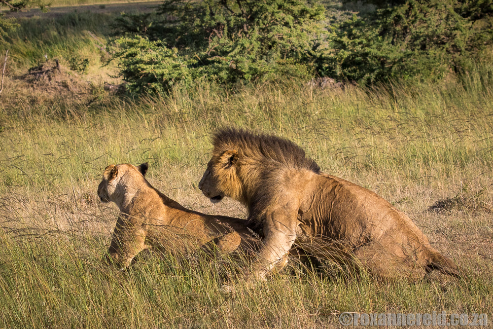 Mating lions, Mara Expedition Camp, Maasai Mara, Kenya