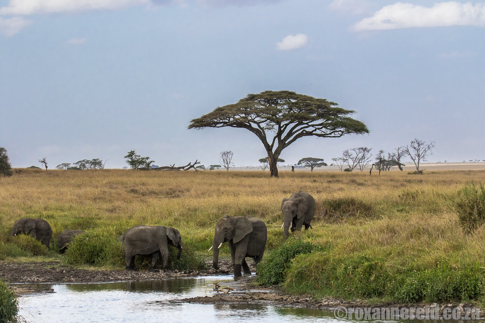 Elephants drinking, Serengeti National Park, Tanzania