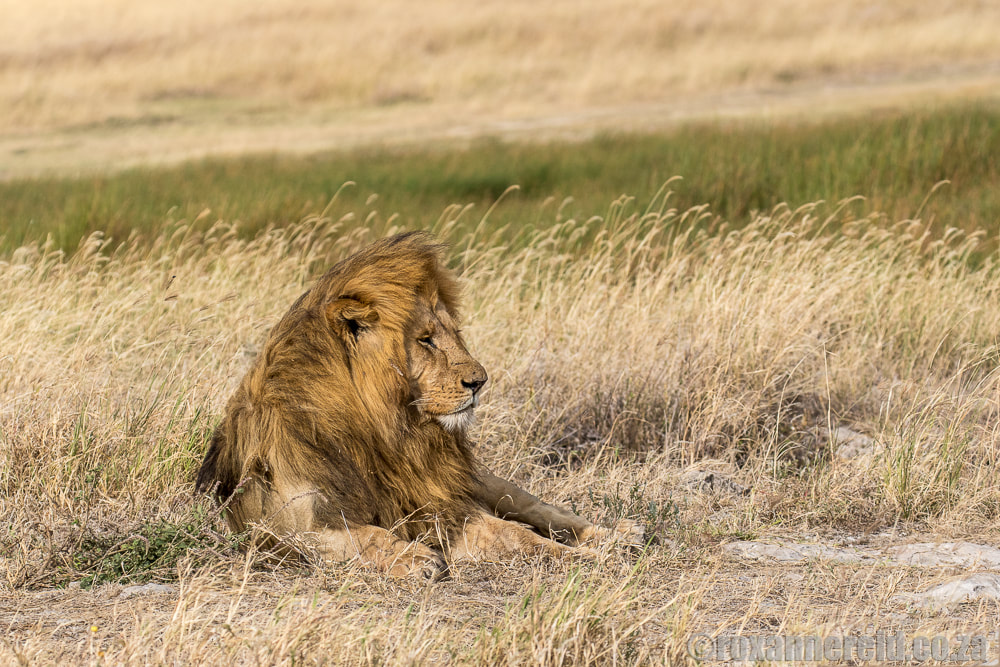 Lion, Serengeti National Park, Tanzania