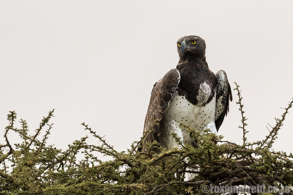Martial eagle, Serengeti National Park, Tanzania