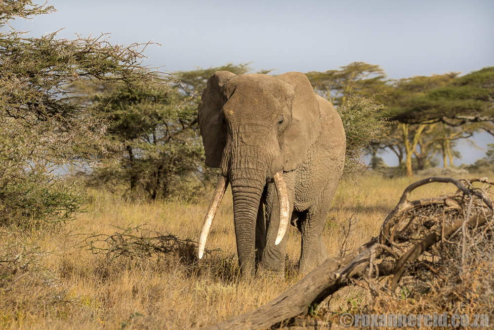 Elephant, 10 reasons to visit Serengeti in Tanzania on safari