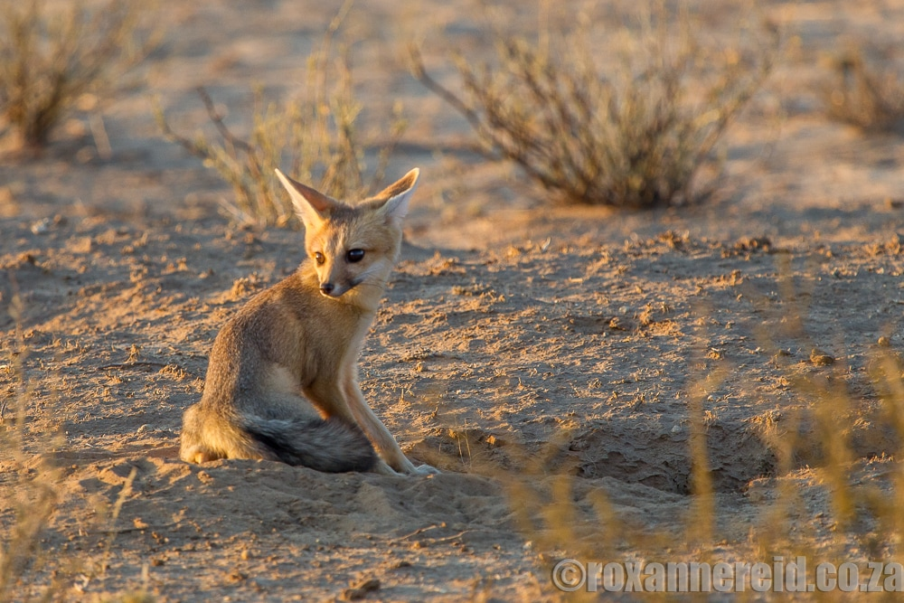 Sunset drive in the Kgalagadi Transfrontier Park