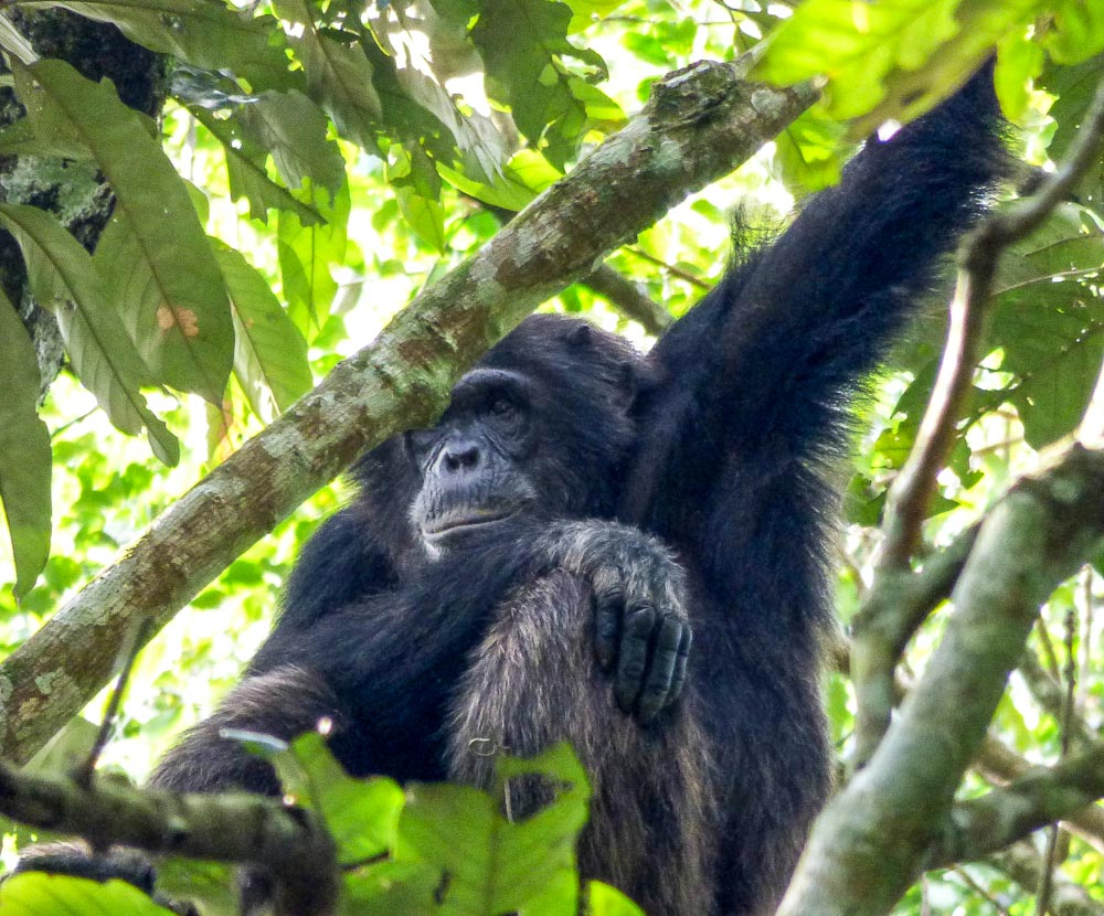 Tourist places in Africa to see chimpanzees: Kibale Forest in Uganda