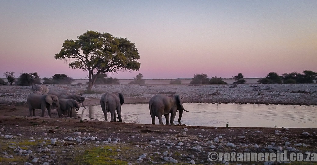 Etosha safari with Etosha elephants at Okaukuejo resort