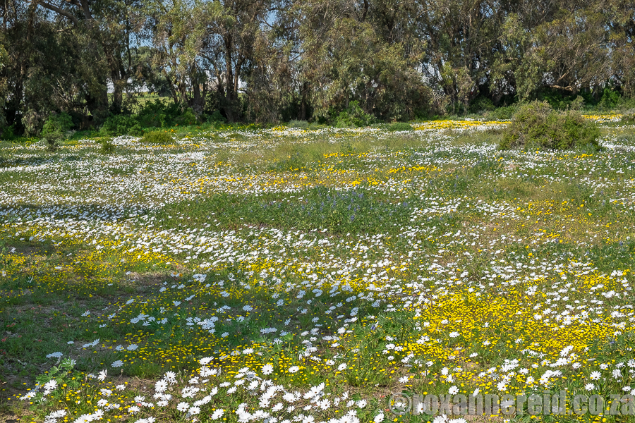 Spring flowers, Yzerfontein, West Coast