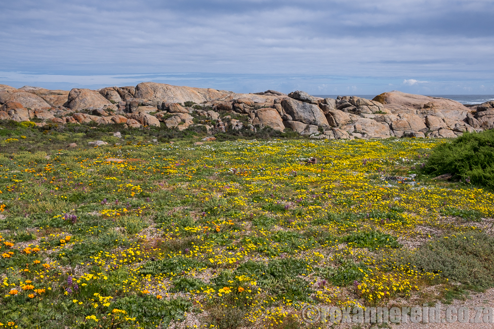 Spring flowers, Paternoster, West Coast