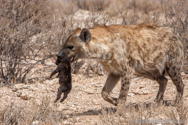 Spotted hyena with cub, Kgalagadi Transfronteir Park