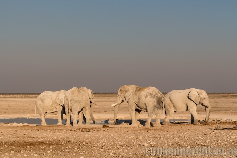 Etosha elephants at Nebrownii waterhole