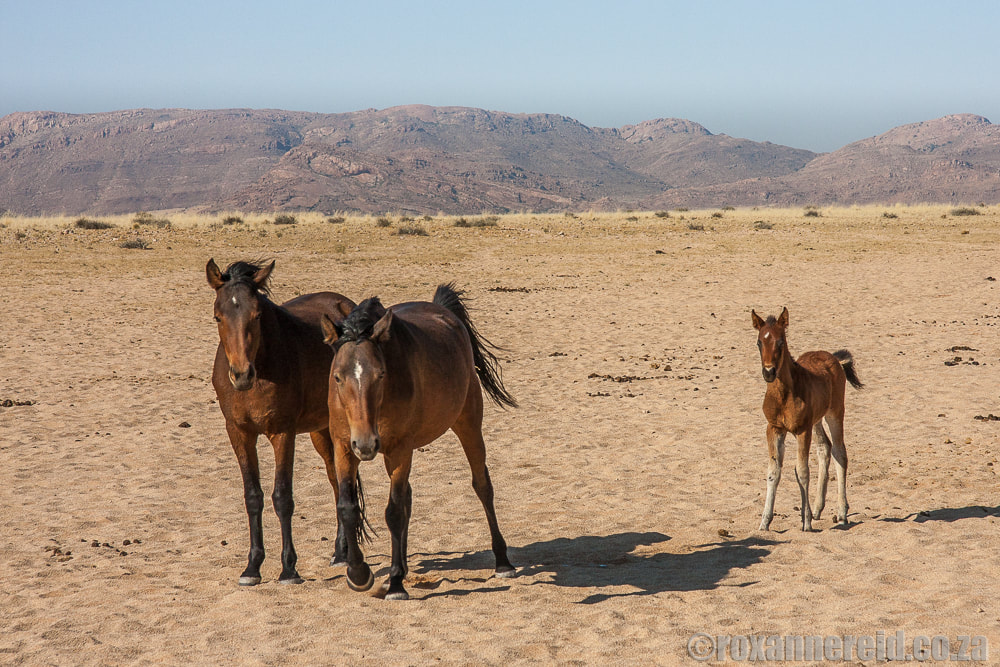 The wild horses of Aus in Namibia