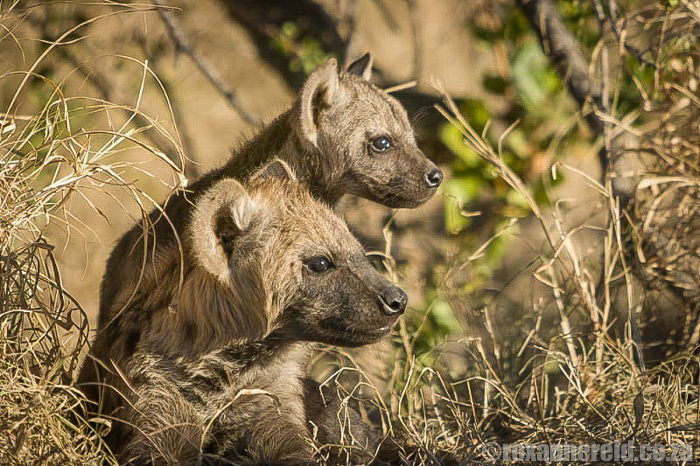 Best safari in Africa: spotted hyenas on a South Africa safari