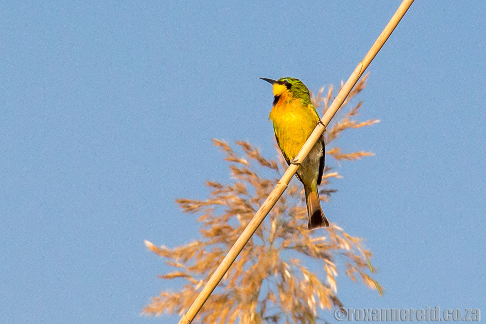 Little bee-eater, Zambezi region, Namibia