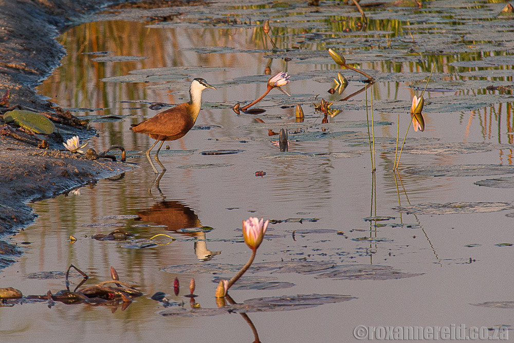 Afircan jacana and waterlilies, Zambezi Namibia