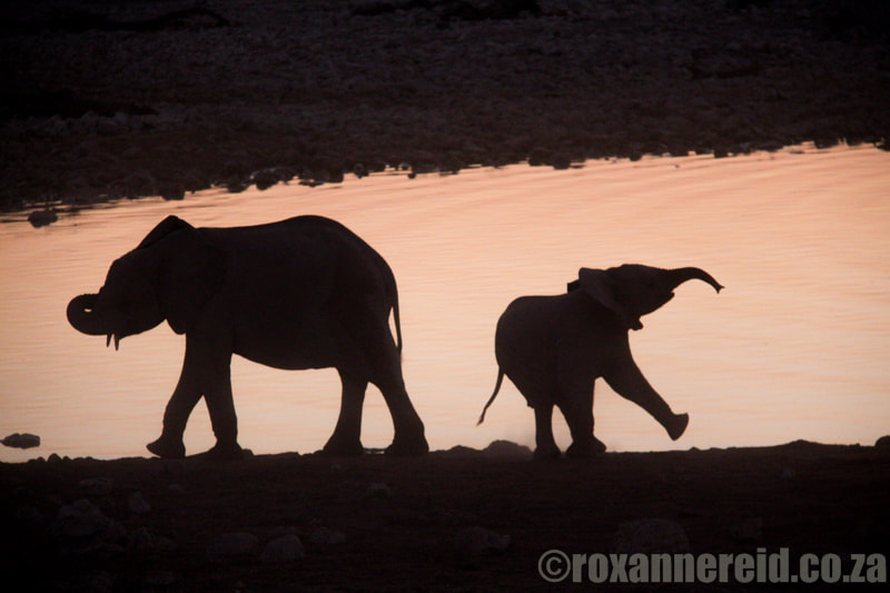 Etosha safari: Etosha elephants at Okaukuejo camp