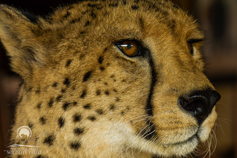 Sylvester, the Victoria Falls Wildlife Trust's cheetah ambassador, helps with conservation education